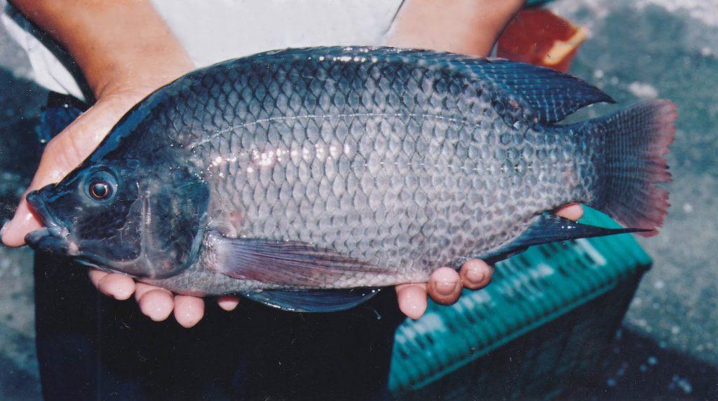 大马食神-非洲鱼
