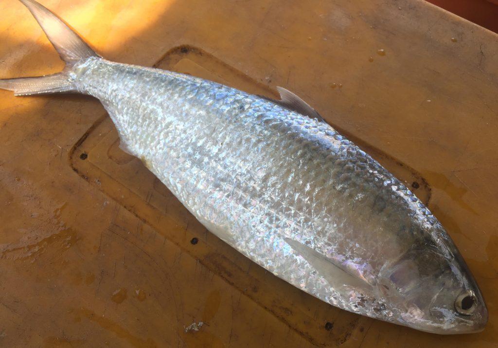 大马食神-刺壳鱼