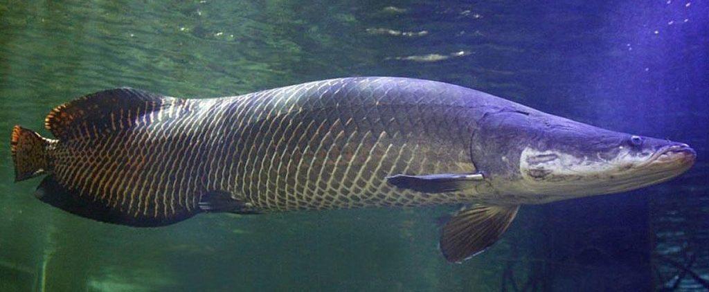 大马食神-巨龙鱼
