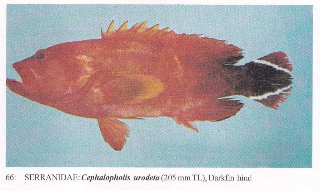 大马食神-石斑 红斑