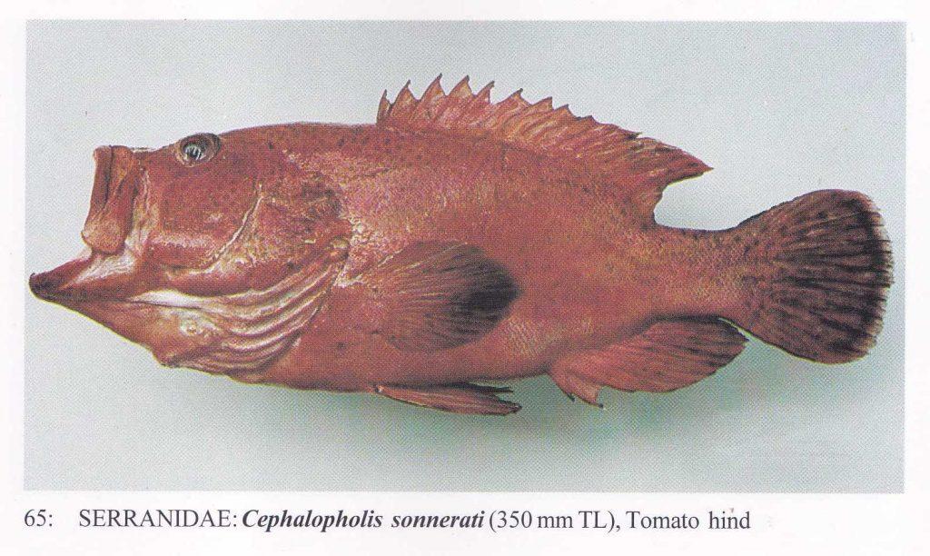 大马食神-石斑 红瓜子斑