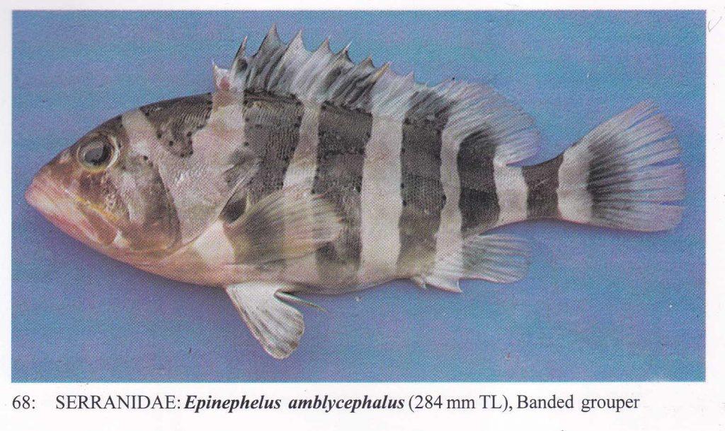 大马食神-石斑 镶点石斑鱼