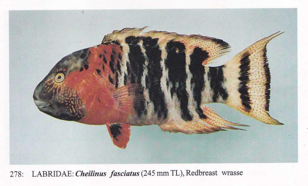 大马食神-苏眉鱼属