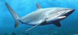 大马食神-鲨鱼