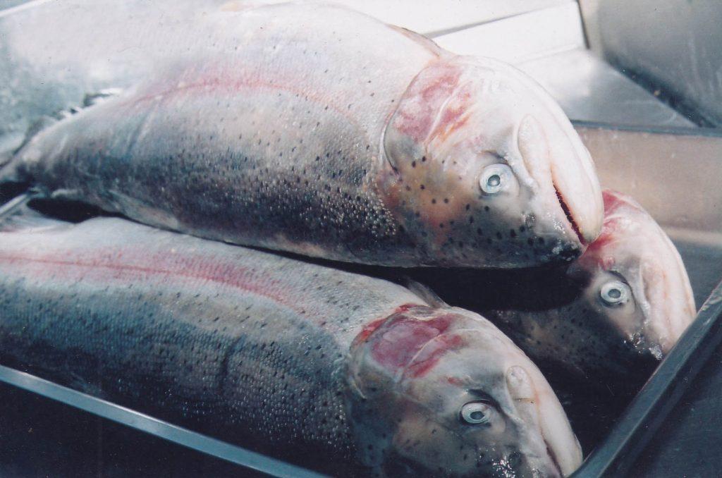 大马食神-日本三文鱼
